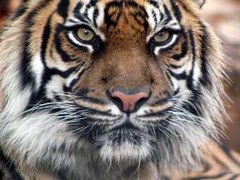 tigre-indio