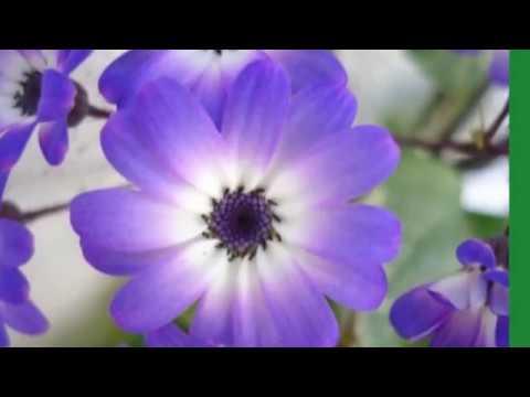 Video de Flores Hermosas