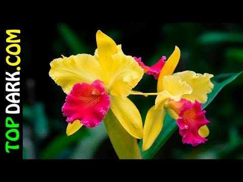 20 Flores de Orquídeas Mas Hermosas Del Mundo